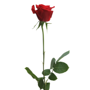 red_rose_png_by_thy_darkest_hour-d7cdib6-300x300.png
